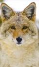 ID-10072636...coyote