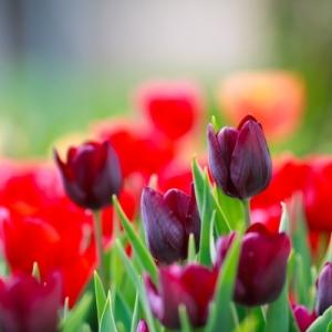 purple tulips ID-100139402