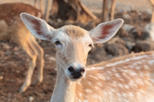 female deer ID-100185730