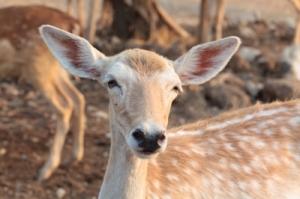 female deer ID-100185730