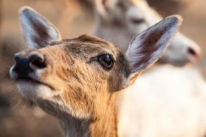 Uplifted Deer Face ID-100182044