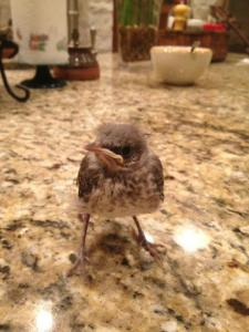 baby mockingbird