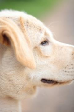 face of a labrador ... ID-100186636