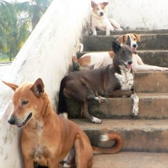 India dogs