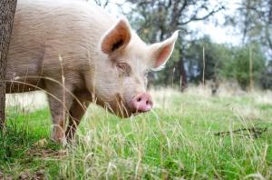 PIG APNOV  (50 of 98)